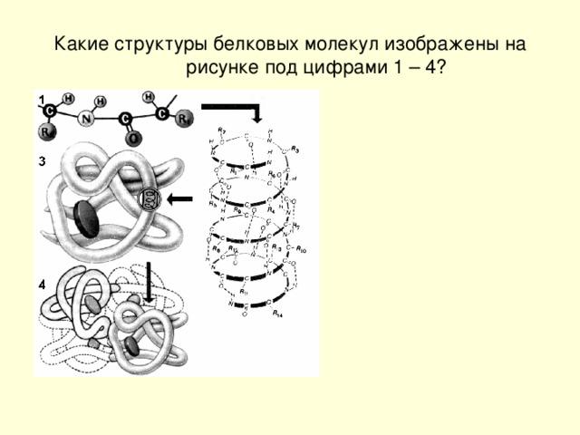 Какие структуры белковых молекул изображены на рисунке под цифрами 1 – 4?