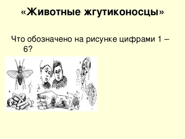 «Животные жгутиконосцы»