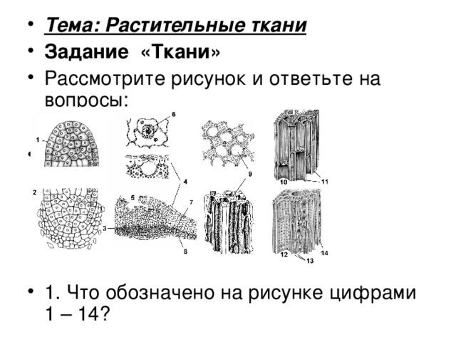 Тема: Растительные ткани
