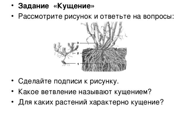 Задание «Кущение» Рассмотрите рисунок и ответьте на вопросы:      Сделайте подписи к рисунку. Какое ветвление называют кущением? Для каких растений характерно кущение?