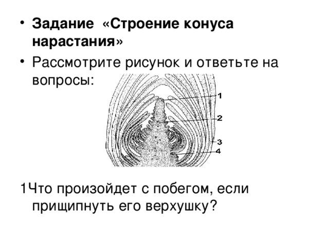 Задание «Строение конуса нарастания» Рассмотрите рисунок и ответьте на вопросы: