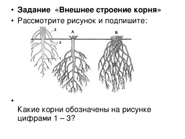 Задание «Внешнее строение корня»