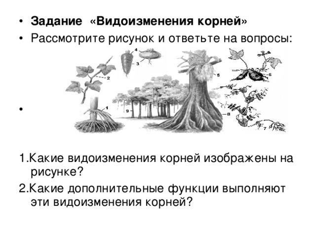Задание «Видоизменения корней» Рассмотрите рисунок и ответьте на вопросы: