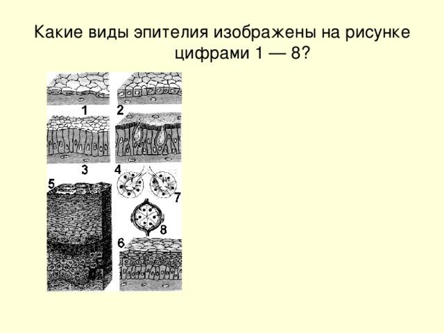 Какие виды эпителия изображены на рисунке цифрами 1 — 8?