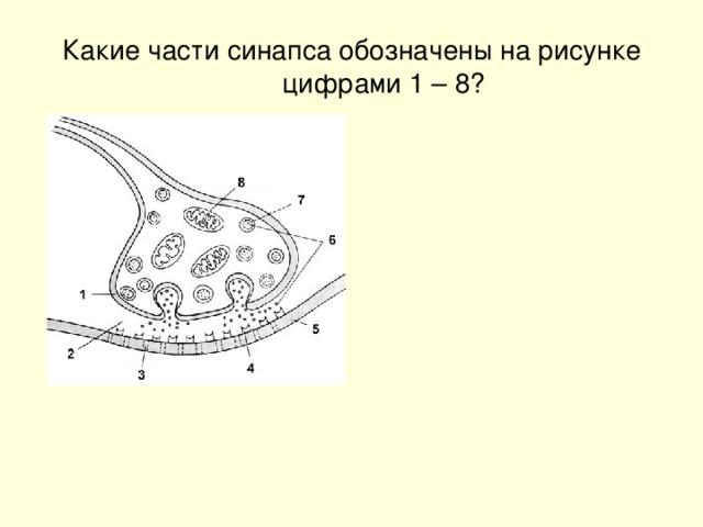 Какие части синапса обозначены на рисунке цифрами 1 – 8?