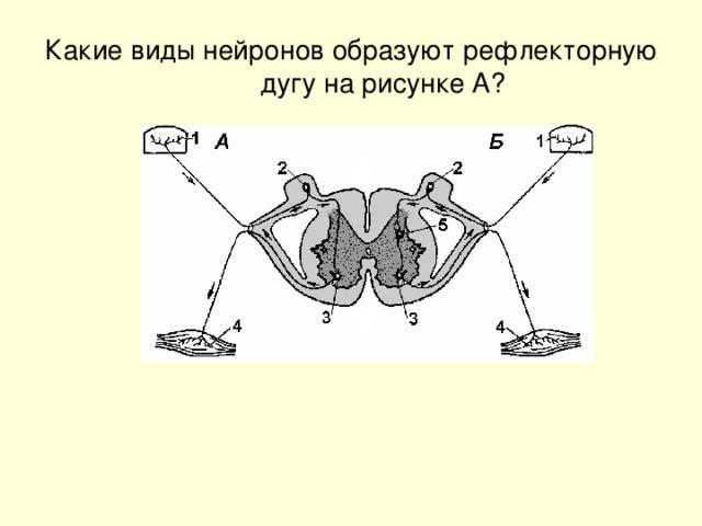 Какие виды нейронов образуют рефлекторную дугу на рисунке А?