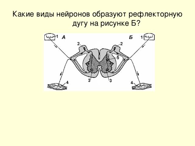 Какие виды нейронов образуют рефлекторную дугу на рисунке Б?