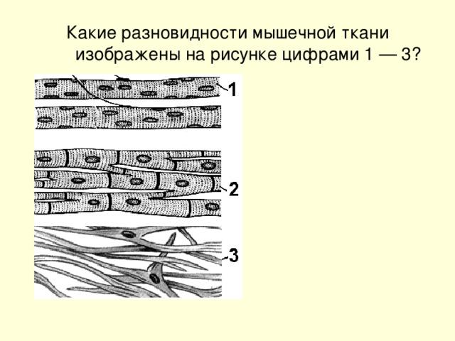 Какие разновидности мышечной ткани изображены на рисунке цифрами 1 — 3?