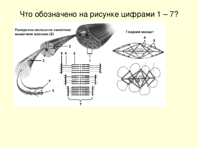 Что обозначено на рисунке цифрами 1 – 7?