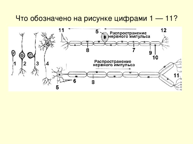 Что обозначено на рисунке цифрами 1 — 11?