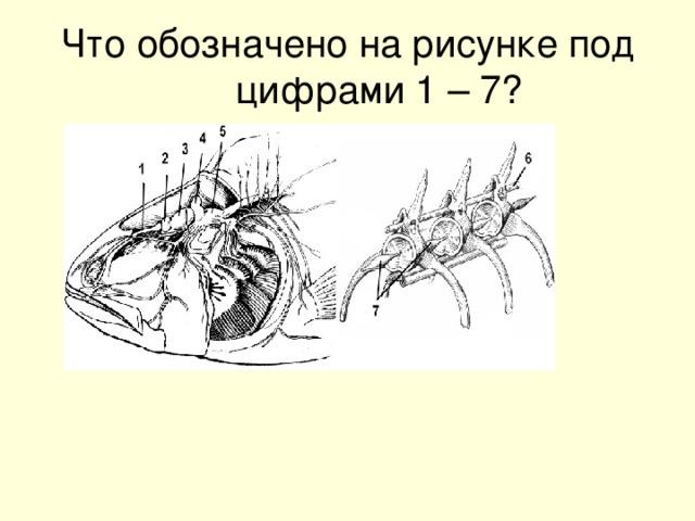 Что обозначено на рисунке под цифрами 1 – 7?