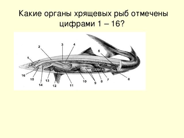 Какие органы хрящевых рыб отмечены цифрами 1 – 16?