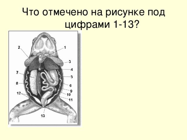 Что отмечено на рисунке под цифрами 1-13?