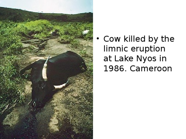Cow killed by the limnic eruption at Lake Nyos in 1986. Cameroon