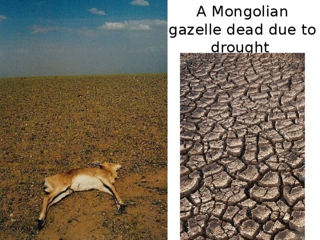 A Mongolian gazelle dead due to drought
