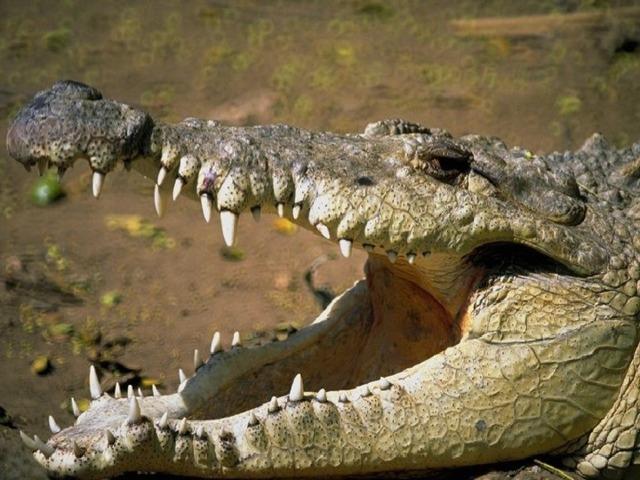 Природные зоны Саванны – 40 % площади материка  Баобаб, зонтичная акация, травы до 3 м в высоту, масличная пальма, пальма дум, молочай, финиковая пальма.  Антилопы, газели, зебра, носорог, жираф, слон, бегемот, гепард, гиены, крокодилы, лев, шакалы, страус, птица-марабу, термиты, муха цеце и др.