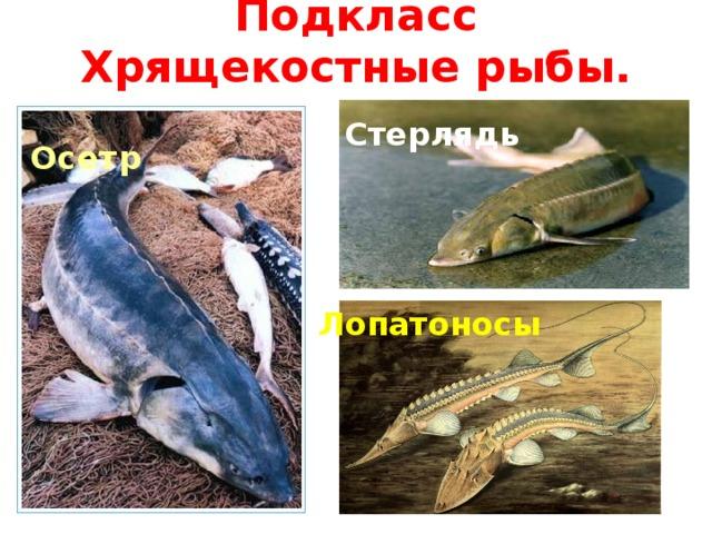 Подкласс Хрящекостные рыбы. Стерлядь Осетр Лопатоносы