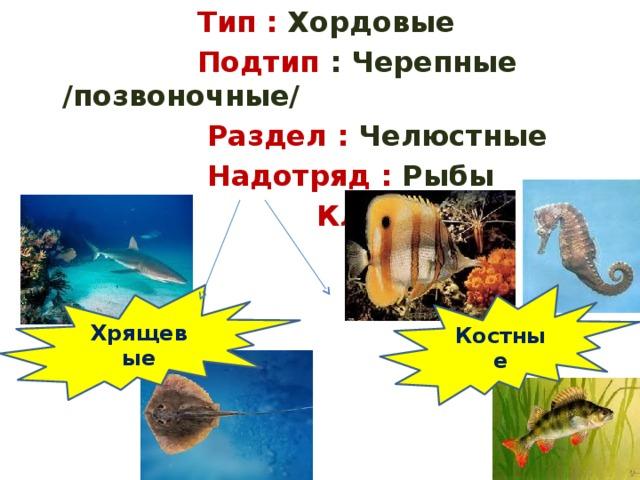 Тип : Хордовые  Подтип : Черепные /позвоночные/  Раздел : Челюстные  Надотряд : Рыбы  Класс: Хрящевые Костные