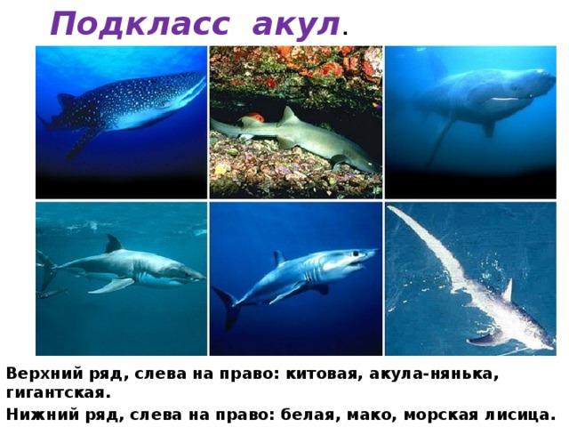 Подкласс акул . Верхний ряд, слева на право: китовая, акула-нянька, гигантская. Нижний ряд, слева на право: белая, мако, морская лисица.