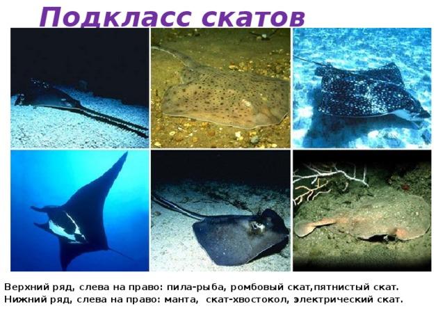 Подкласс скатов Верхний ряд, слева на право: пила-рыба, ромбовый скат,пятнистый скат. Нижний ряд, слева на право: манта, скат-хвостокол, электрический скат.
