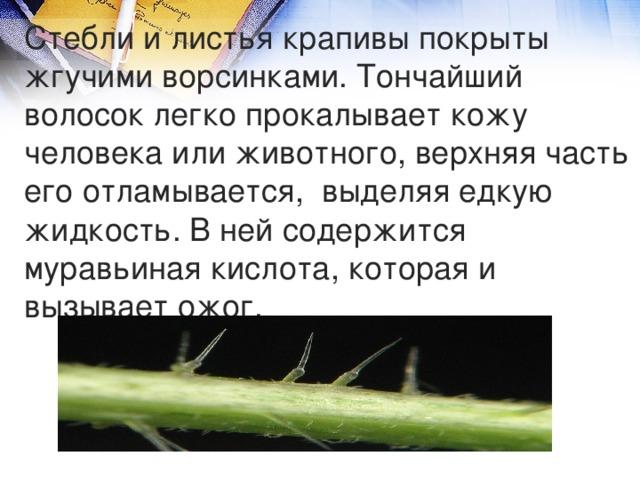 Стебли и листья крапивы покрыты жгучими ворсинками. Тончайший волосок легко прокалывает кожу человека или животного, верхняя часть его отламывается, выделяя едкую жидкость. В ней содержится муравьиная кислота, которая и вызывает ожог.