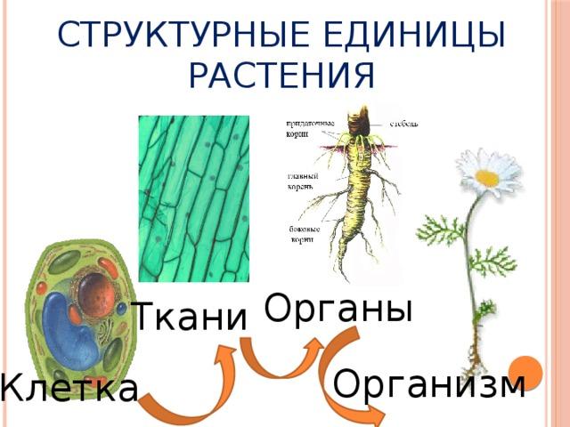 Структурные единицы растения Органы Ткани Организм Клетка