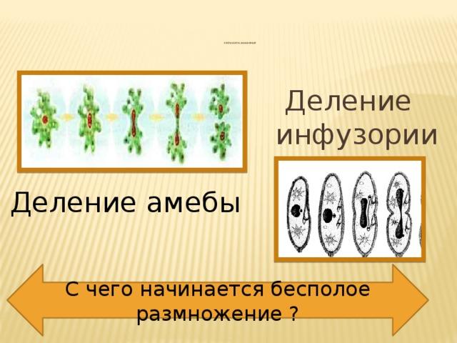 Бесполое размножение          Деление инфузории Деление амебы С чего начинается бесполое размножение ?