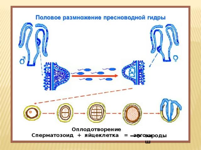 Оплодотворение  Сперматозоид + яйцеклетка = зигота зародыш