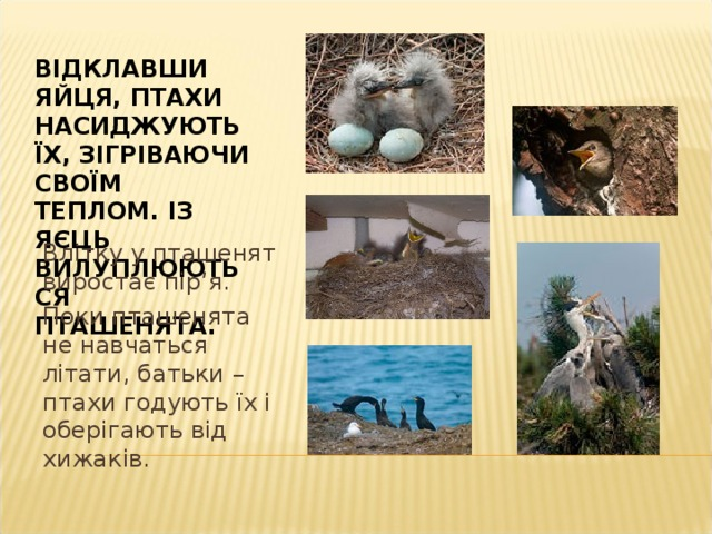 Майже всі птахи будують гнізда: на землі, на деревах, у дуплах, чи вилуплюють їх із глини чи землі.