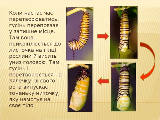 Через деякий час з яєць вилуплюється зелена гусінь. Спочатку гусінь з ' їдає оболонку свого яйця, після цього починає об ' їдати листки дерев.