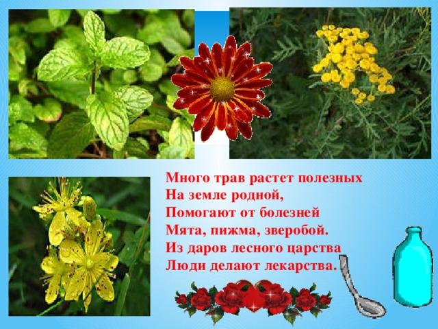 Много трав растет полезных  На земле родной, Помогают от болезней  Мята, пижма, зверобой.  Из даров лесного царства  Люди делают лекарства.