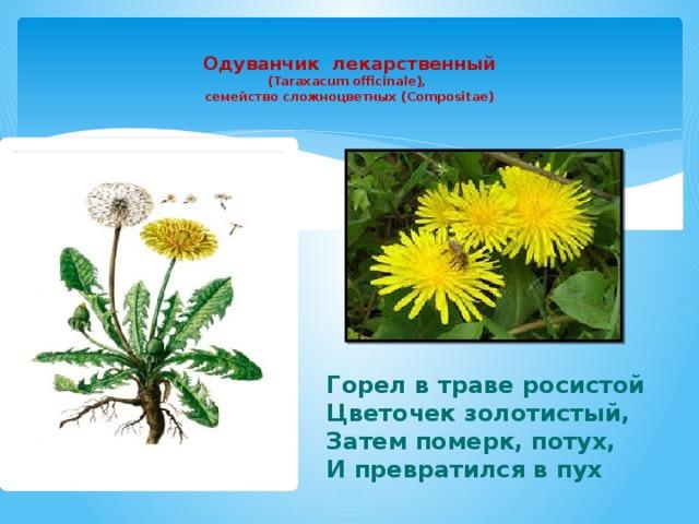 Одуванчик лекарственный  (Taraxacum officinale),  семейство сложноцветных (Compositae)   Горел в траве росистой Цветочек золотистый, Затем померк, потух, И превратился в пух
