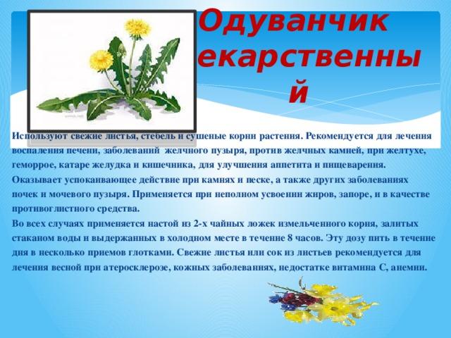 Одуванчик  лекарственный Используют свежие листья, стебель и сушеные корни растения. Рекомендуется для лечения воспаления печени, заболеваний желчного пузыря, против желчных камней, при желтухе, геморрое, катаре желудка и кишечника, для улучшения аппетита и пищеварения. Оказывает успокаивающее действие при камнях и песке, а также других заболеваниях почек и мочевого пузыря. Применяется при неполном усвоении жиров, запоре, и в качестве противоглистного средства. Во всех случаях применяется настой из 2-х чайных ложек измельченного корня, залитых стаканом воды и выдержанных в холодном месте в течение 8 часов. Эту дозу пить в течение дня в несколько приемов глотками. Свежие листья или сок из листьев рекомендуется для лечения весной при атеросклерозе, кожных заболеваниях, недостатке витамина С, анемии.
