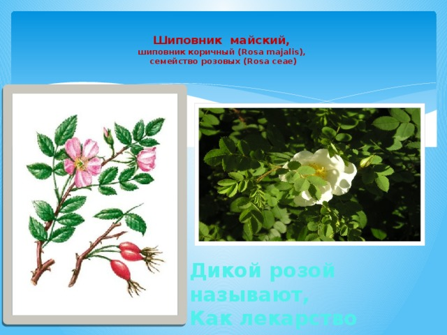 Шиповник майский,  шиповник коричный (Rosa majalis),  семейство розовых (Rosa ceae)   Дикой розой называют, Как лекарство применяют.
