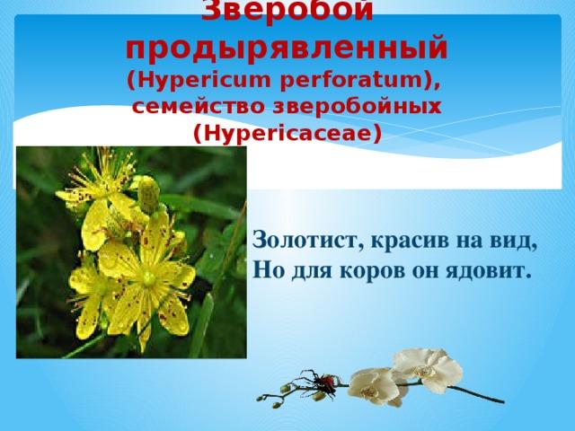 Зверобой продырявленный  (Hypericum perforatum),  семейство зверобойных (Hypericaceae)   Золотист, красив на вид, Но для коров он ядовит.