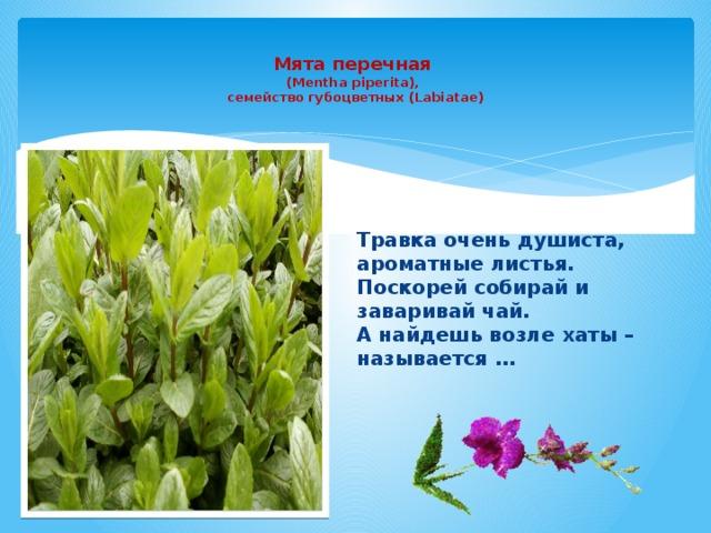 Мята перечная  (Mentha piperita),  семейство губоцветных (Labiatae)   Травка очень душиста, ароматные листья. Поскорей собирай и заваривай чай. А найдешь возле хаты – называется …