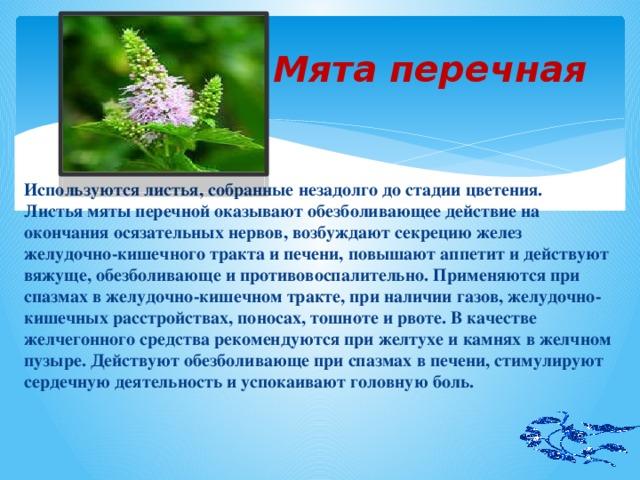 Мята перечная Используются листья, собранные незадолго до стадии цветения. Листья мяты перечной оказывают обезболивающее действие на окончания осязательных нервов, возбуждают секрецию желез желудочно-кишечного тракта и печени, повышают аппетит и действуют вяжуще, обезболивающе и противовоспалительно. Применяются при спазмах в желудочно-кишечном тракте, при наличии газов, желудочно- кишечных расстройствах, поносах, тошноте и рвоте. В качестве желчегонного средства рекомендуются при желтухе и камнях в желчном пузыре. Действуют обезболивающе при спазмах в печени, стимулируют сердечную деятельность и успокаивают головную боль.