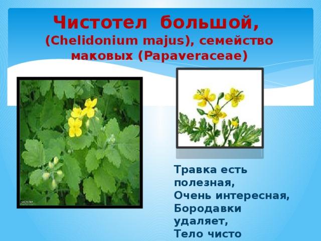 Чистотел большой, (Chelidonium majus), семейство маковых (Papaveraceae)  Травка есть полезная, Очень интересная, Бородавки удаляет, Тело чисто очищает.