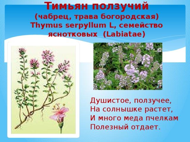 Тимьян ползучий  (чабрец, трава богородская)  Thymus serpyllum L, семейство яснотковых (Labiatae)   Душистое, ползучее, На солнышке растет, И много меда пчелкам Полезный отдает.