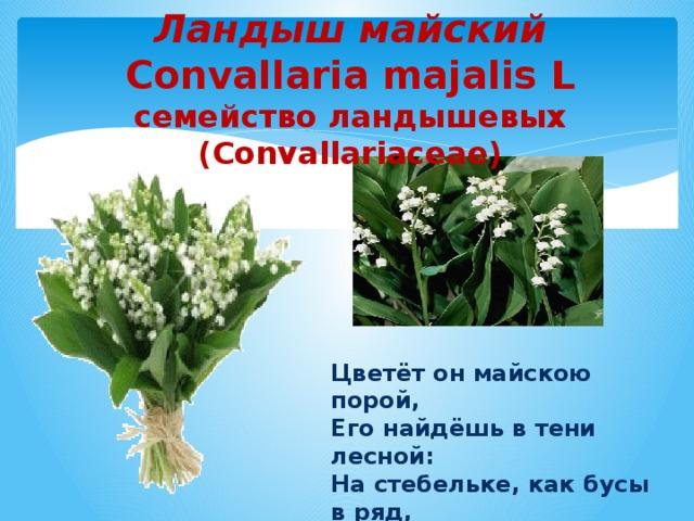 Ландыш майский  Convallaria majalis L  семейство ландышевых (Convallariaceae) Цветёт он майскою порой,  Его найдёшь в тени лесной:  На стебельке, как бусы в ряд,  Цветы душистые висят.