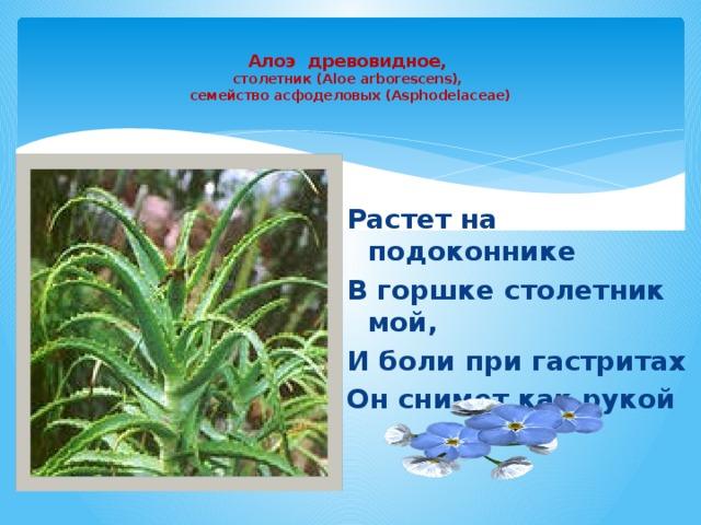 Алоэ древовидное,  столетник (Aloe arborescens),  семейство асфоделовых (Asphodelaceae)   Растет на подоконнике В горшке столетник мой, И боли при гастритах Он снимет как рукой