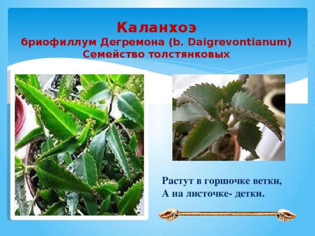 Каланхоэ бриофиллум Дегремона (b. Daigrevontianum) Семейство толстянковых  Растут в горшочке ветки, А на листочке- детки.