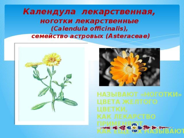 Календула лекарственная,  ноготки лекарственные  (Calendula officinalis),  семейство астровых (Asteraceae)   Называют «ноготки» Цвета желтого цветки, Как лекарство применяют, Как еще их называют?