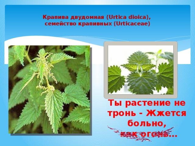 Крапива двудомная (Urtica dioica),  семейство крапивных (Urticaceae )   Ты растение не тронь - Жжется больно,  как огонь…