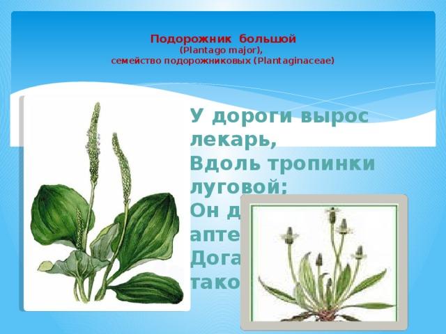 Подорожник большой  (Plantago major),  семейство подорожниковых (Plantaginaceae)   У дороги вырос лекарь, Вдоль тропинки луговой; Он для нас с тобой аптекарь. Догадайся, кто такой?