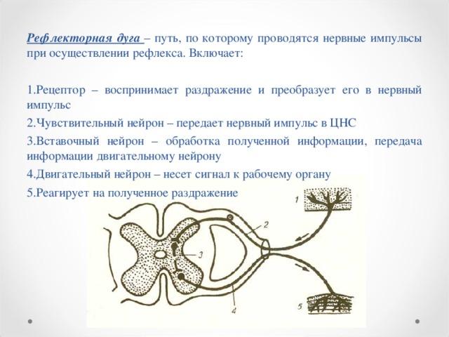 Рефлекторная дуга – путь, по которому проводятся нервные импульсы при осуществлении рефлекса. Включает: