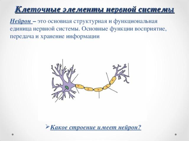 Клеточные элементы нервной системы Нейрон – это основная структурная и функциональная единица нервной системы. Основные функции восприятие, передача и хранение информации