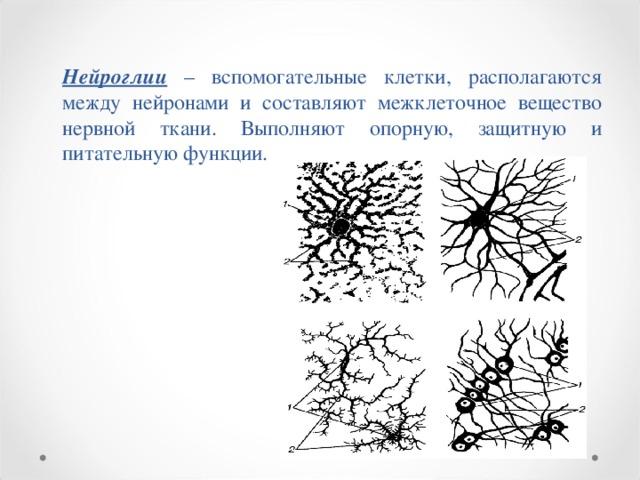 Нейроглии – вспомогательные клетки, располагаются между нейронами и составляют межклеточное вещество нервной ткани. Выполняют опорную, защитную и питательную функции.