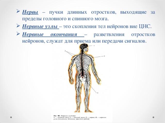 Нервы – пучки длинных отростков, выходящие за пределы головного и спинного мозга. Нервные узлы – это скопления тел нейронов вне ЦНС. Нервные окончания