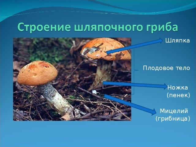 Шляпка Плодовое тело Ножка (пенек) Мицелий (грибница)